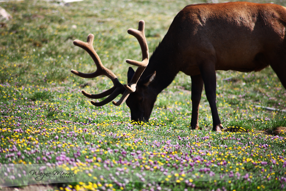 Elk and Wildlife at Rocky Mountain National Park
